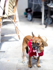 Julio Caliente, a Chihuahua mix, attends the second annual Bow Wow Brunch on Oct. 16, 2016, in Naples.