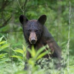 Record 607 bears killed in New Jersey's hunt