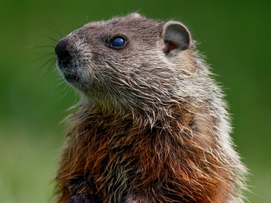 STOCKIMAGE-Groundhog