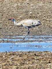 A sandhill crane feeds in a fallow field east of town