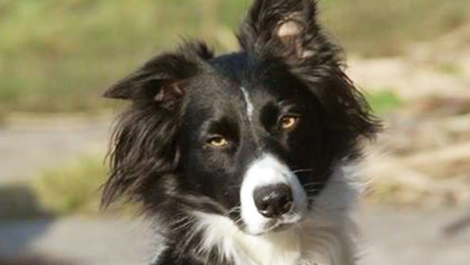 Abby is an eight-year-old border collie who lives in St. Clair Shores, Mich.