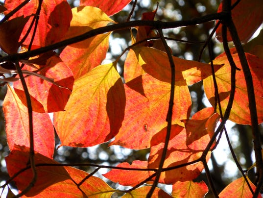 635798231258753975-SBYBrd-10-28-2012-DailyTimes-1-D001--2012-10-26-IMG-bs-autumn-leaves-004-1-1-RD2JEESF-IMG-bs-autumn-leaves-004-1-1-RD2JEESF