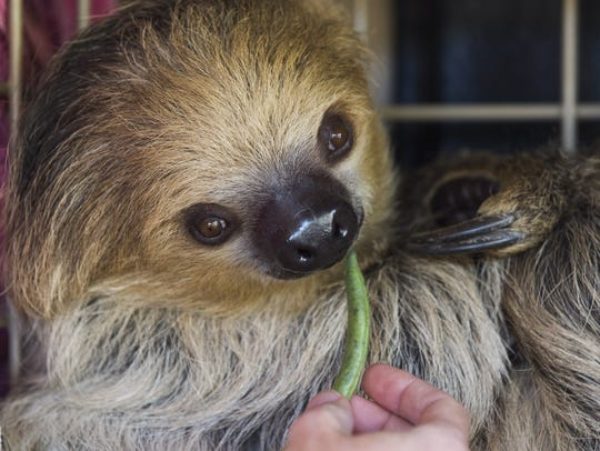 Fernando, a two-toed sloth, eats a green bean at the