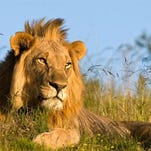 An African lion. A new exhibit housing lions may break ground at Binder Park Zoo in the spring.