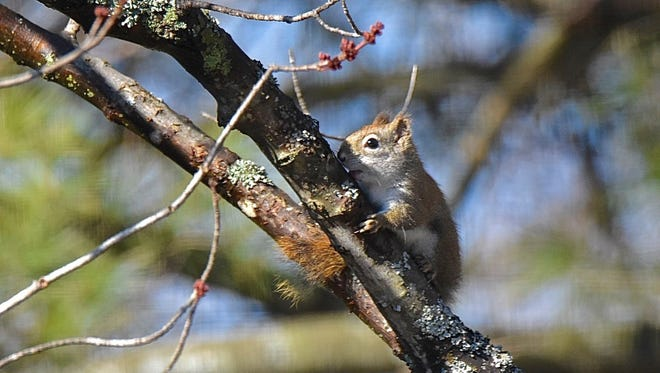 A red squirrel sips red maple sap