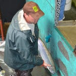 Brett Boyd, the manager at South Santiam Hatchery, handles a chrome-bright steelhead at the fish trap at Boster Dam. It's one of many destined for a truck ride down the South Santiam River to be released to give anglers another shot at catching it.