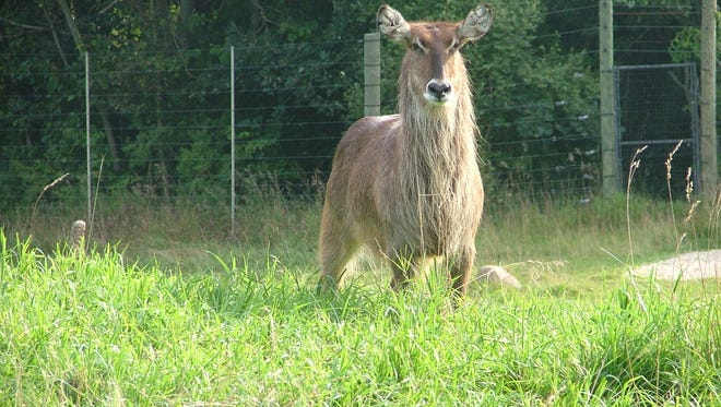 A female waterbuck, like the one pictured, had escaped her exhibit at Binder Park Zoo Tuesday. Officials knew the location of the animal, which was still on zoo property, and at about noon were working to return her to the savanna area.