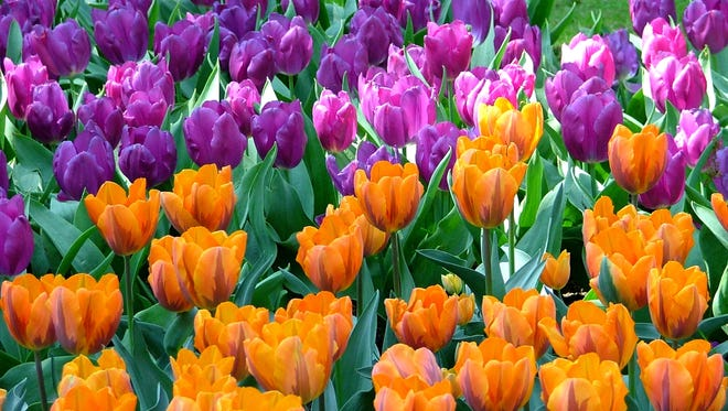 This photo provided by courtesy of John Scheepers Beauty from Bulbs shows Prinses Irene planted in Keukenof in Lisse, Netherlands.  Fragrant tulips work best when planted near walkways, entries or in cutting gardens.  Only 15- to 20 percent of all tulip varieties are fragrant and most of those are orange or apricot in color. (AP Photo/John Scheepers Beauty from Bulbs)