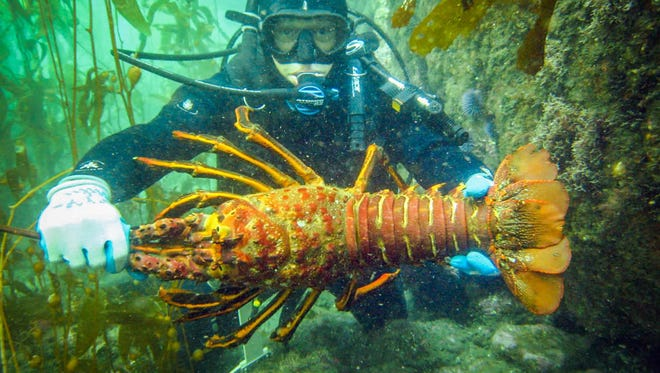 California spiny lobster.