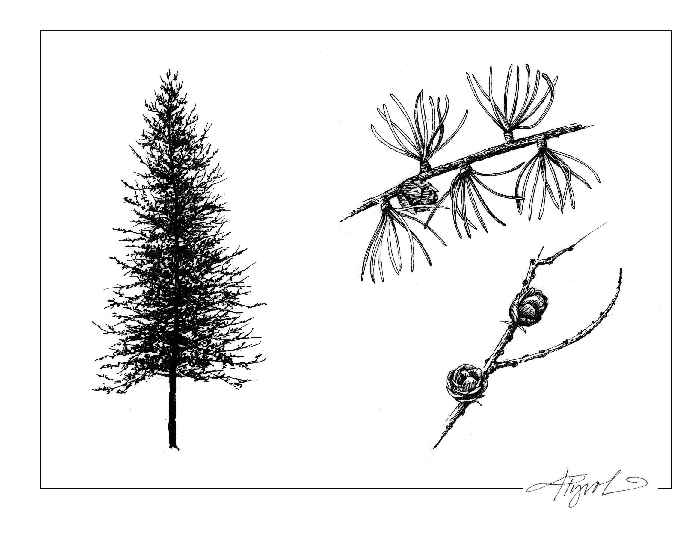 Larch is a coniferous tree. Then why does it have such a name