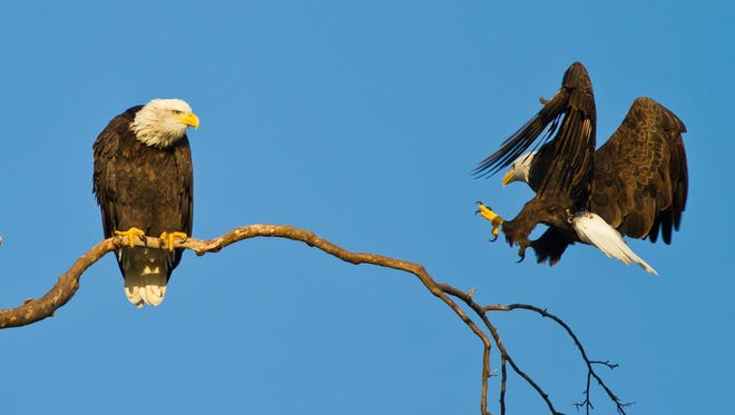 These adult bald eagles are rebuilding in Greenfield after their old nest was destroyed in a wind storm in September 2015.