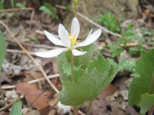 636282032340452768-bloodroot-flower.jpg