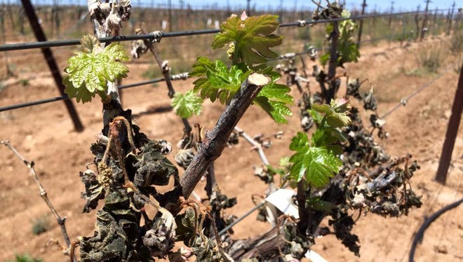 Vines damaged by a freeze in the Elgin area can recover and produce fruit. This Syrah vine at Flying Leap was damaged by the mid-April frost, but a week later was producing new growth, a hopeful sign.