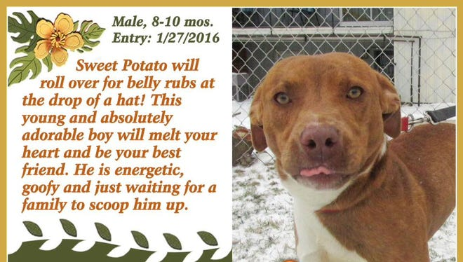 Sweet Potato is available for adoption from Animal Welfare League.