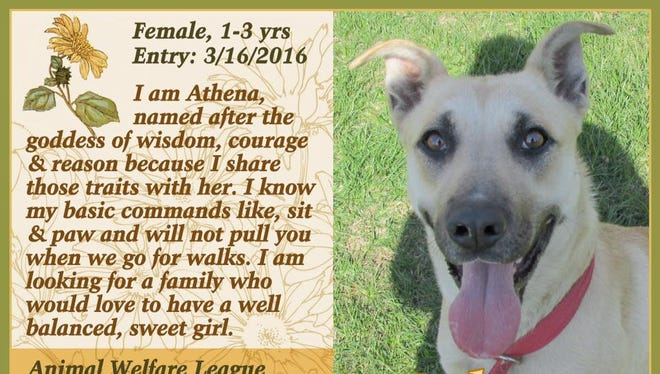 Athena is available for adoption from Animal Welfare League.
