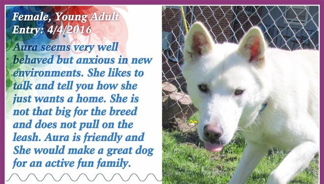 Aura is available for adoption from Animal Welfare League.