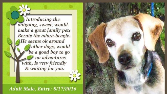 Bernie the beagle is available for adoption at Animal Welfare League.