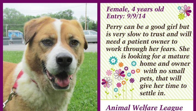 Perry is available for adoption at Animal Welfare League.