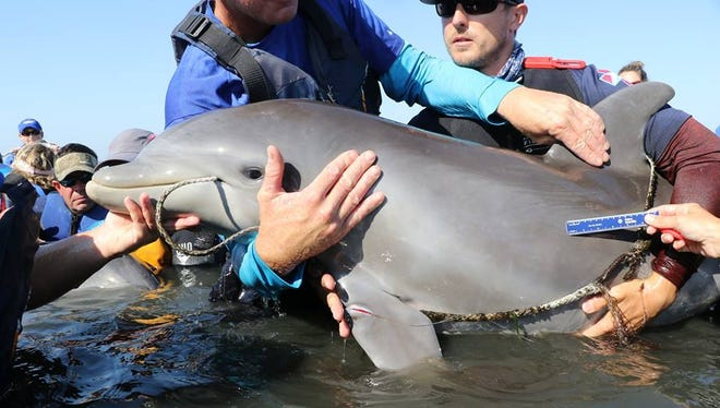 Wildlife officials removed a fishing line that entangled a dolphin calf near Cocoa Beach Wednesday.