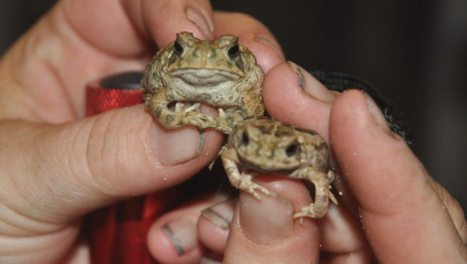 Jennifer Southall catches two baby toads.