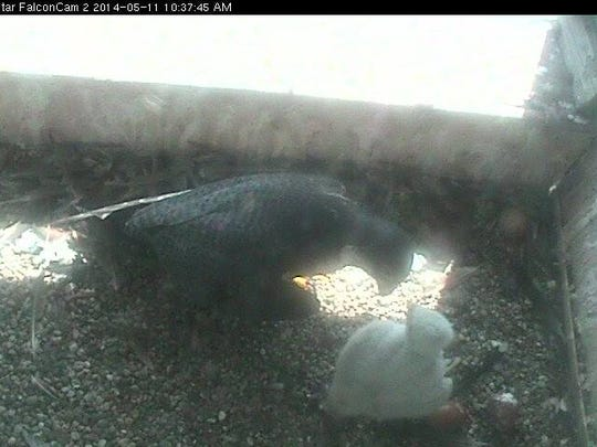 Feeding time in the nestbox on Sunday.