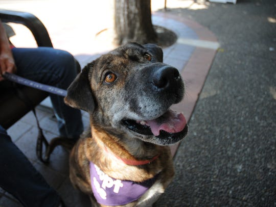 Lady, a retriever mix from the Willamette Humane Society