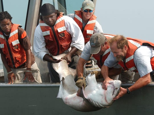 Researchers from Delaware State University – from left, Jerbert Rapley, Johnny Moore, Liri Brown, Don Wajtewicz and Dewayne Fox – return a sand tiger shark to the Delaware Bay after implanting a radio transmitter in 2007. Fox and his team operate an array of listening devices just off the Delaware coast and into Delaware Bay.