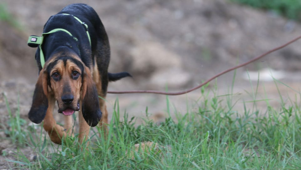 Seven-month-old bloodhound Molly tracks the scent of