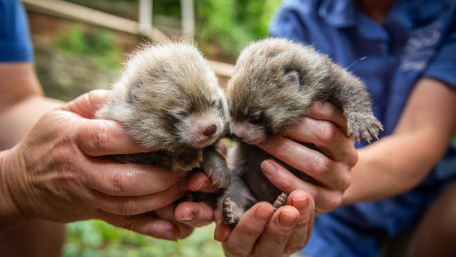 Two red panda cubs, a male and a female, were born June 13 to 2-year-old mother Kora and 7-year-old father Gen Tso. Both are first-time parents.