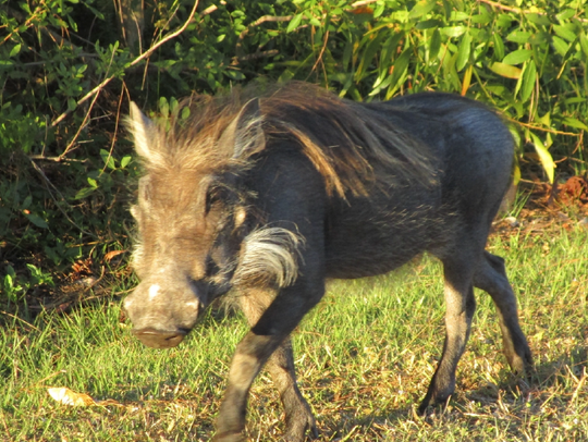 Wildlife officials captured an African warthog in Lakewood
