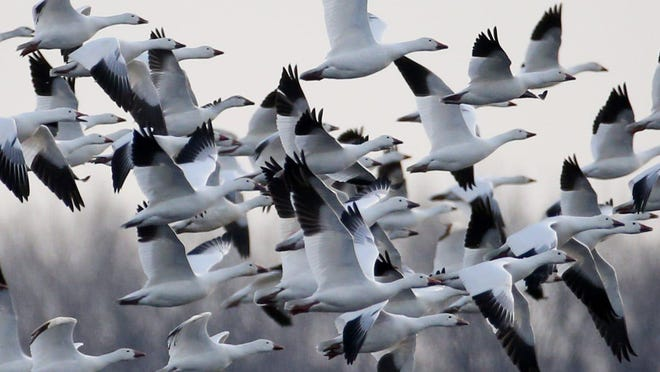 A smaller flock of snow geese lift off from a flooded New York corn field near Rochester during the annual spring bird migration at the Montezuma Wetlands Complex. Jeffrey Energy Center near Delia reported more than 20,000 snow geese on its auxiliary lake this week.