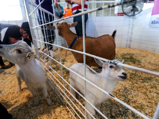 GusGus, a three-and-a-half-week-old goat, is pictured (far right) at the Arizona State Fair on Thursday, Nov. 5, 2015 in Phoenix. GusGus was allegedly stolen from the State Fair on Wednesday night, but was found at a canal in Peoria on Thursday.