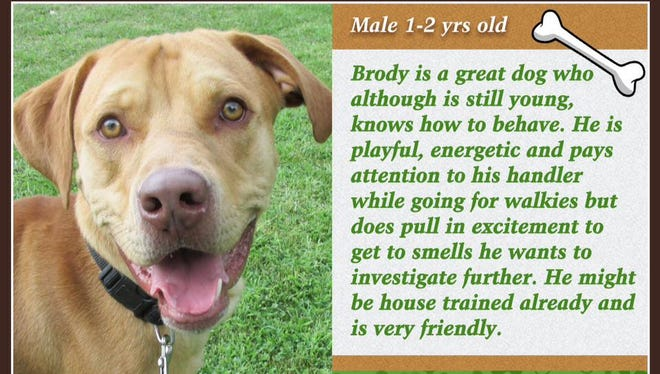 Brody is available for adoption at Animal Welfare League.