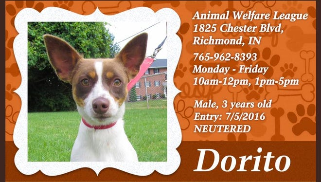 Dorito is available for adoption from Animal Welfare League.