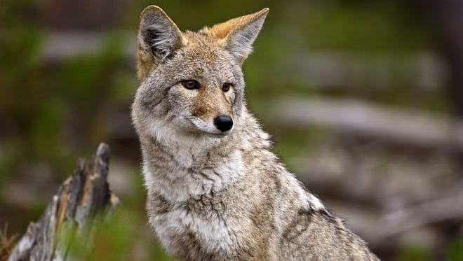This file photo shows a sitting coyote  in Yellowstone National Park, Wyo.