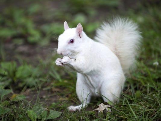 636268271039146136-ASHMag-05-04-2015-Parent-1-Q044--2015-04-29-IMG-squirrel.jpg-1-1-5JAKUNOT-L603392019-IMG-squirrel.jpg-1-1-5JAKUNOT-2-.jpg