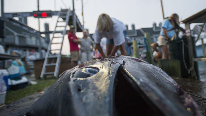 Rose Stivers works on fileting a 723.5-pound blue marlin on day five of the 2014 White Marlin Open in Ocean City.