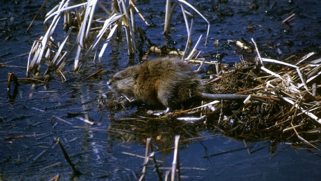 Muskrat remain in their lodges during the winter.