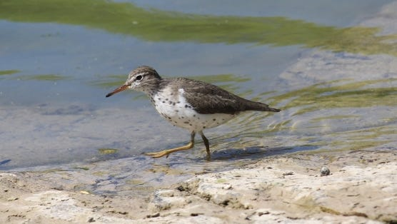 Spotted sandpipers typically prefer to live solitarily, although it will occasionally congregate in prime feeding areas.