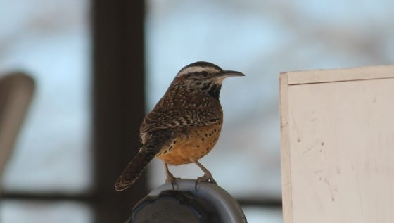 The cactus wren is a nonmigratory bird that can be found throughout the Southwest United States, and Northern Mexico.