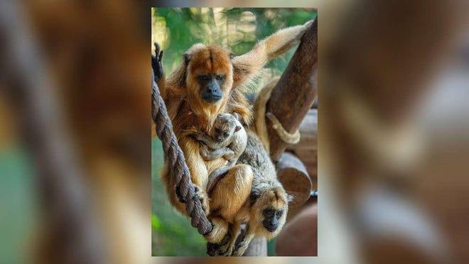 Katie von Howler with her newborn baby black howler monkey and 9-month-old son Reginald von Howler.
