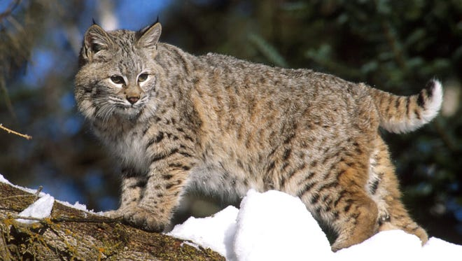 Bobcats are native to Ohio and have been repopulating the state in recent years. One was sited by a resident in the Chandlersville area on Wednesday.