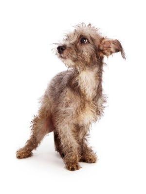 Scruffy Shy Rescue Dog