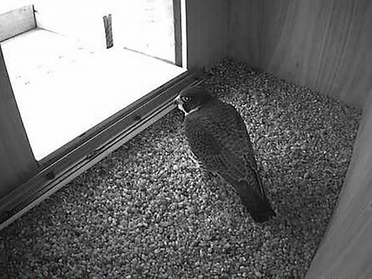The male falcon has discovered the nest box on the