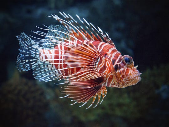 Smartphone app used to keep tabs on lionfish