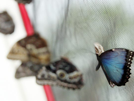 A Blue Morpho butterfly takes flight inside a tent