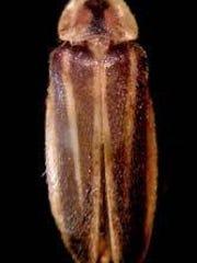 A Bethany Beach firefly.