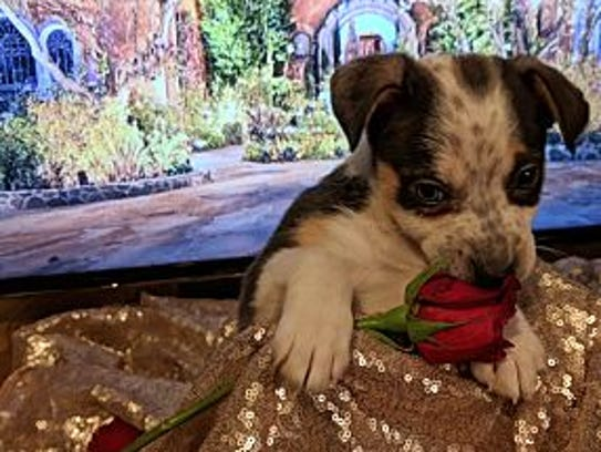 Becca, an 8-week cattle dog mix, is up for adoption
