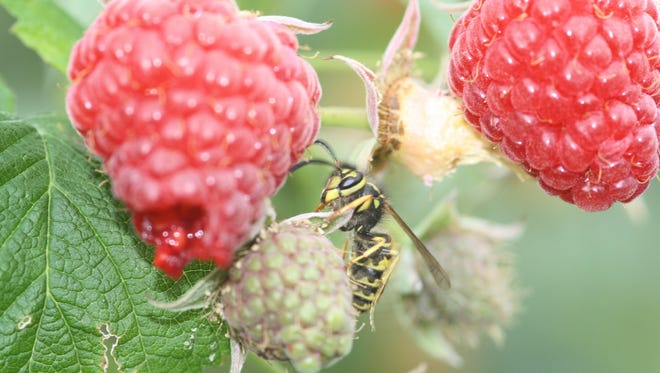 Western yellow jacket wasps in the raspberry patch can be a nasty surprise.