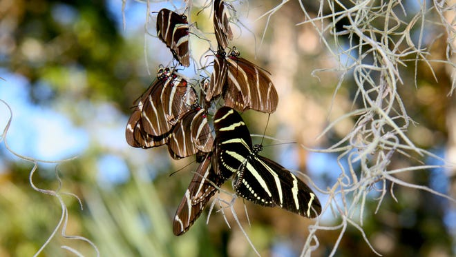 Zebra lingwing butterfly